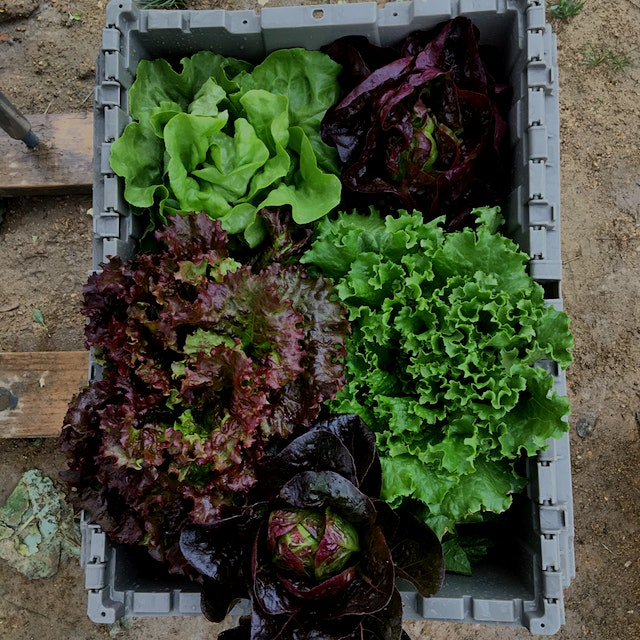 I love the seemingly endless options for lettuce colors and textures. Here's just a few of the va...