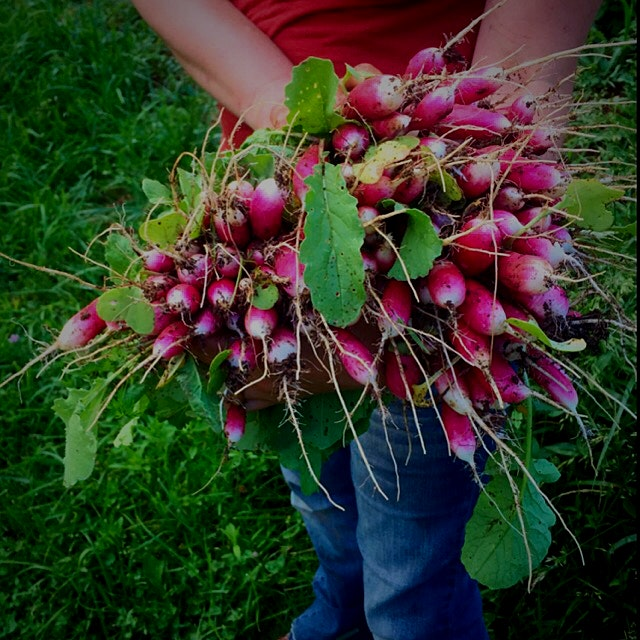 Vibrant radishes, they go in the same bed as carrots to help break up the soil before the carrots