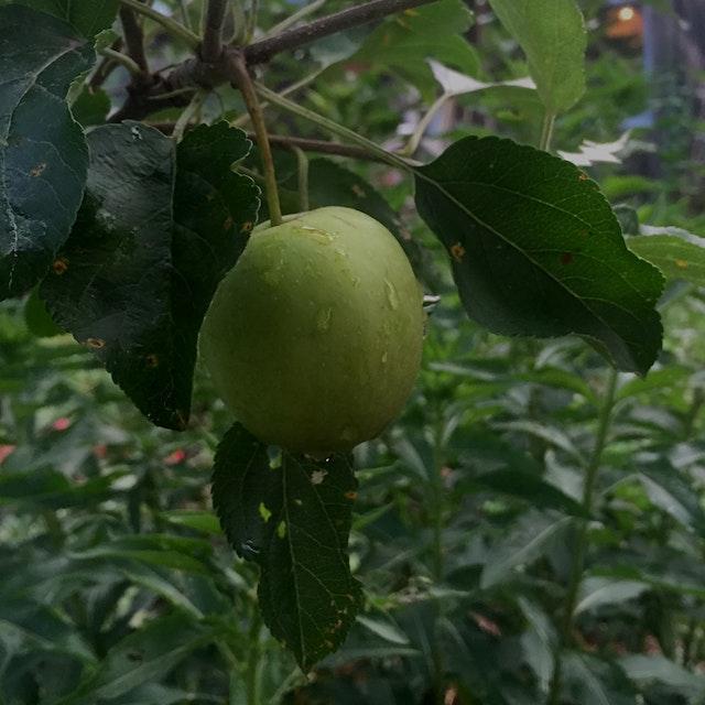 Apple in progress #fruit #fruittrees
