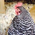 Chickgirl27