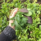 Harvesting a little salad at @mottstreeturbanfarm ! Not sure what the spiky leaves are, but I've got a handful (and a half) of a mesclun mix #GetReal