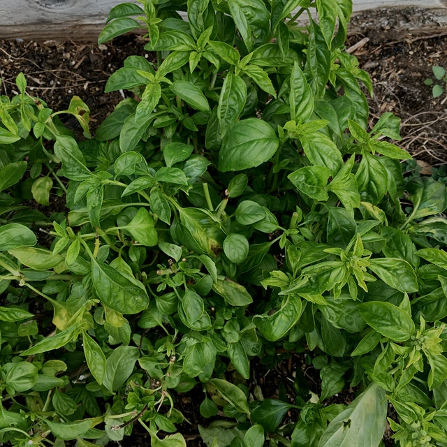 If you're growing basil, make sure to pinch off the flowers so the plant won't bolt! #GetReal and...