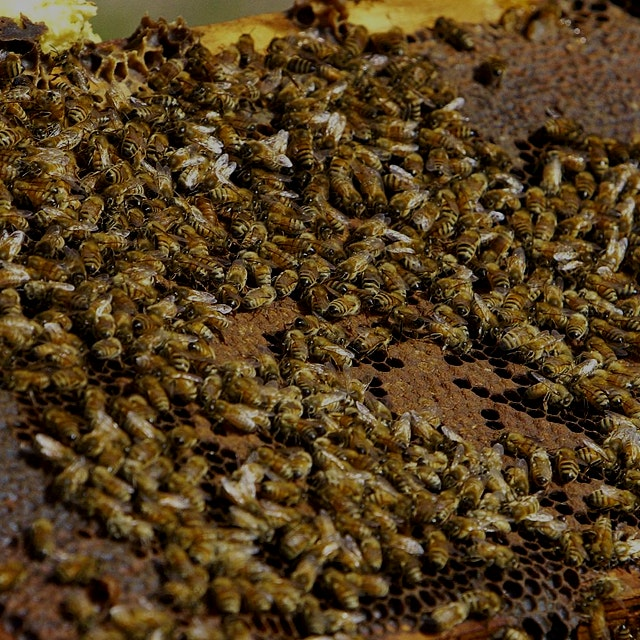 "After CCD and another recent virus, bees have come in short supply in CA. ""Bee rustlers have pull..."