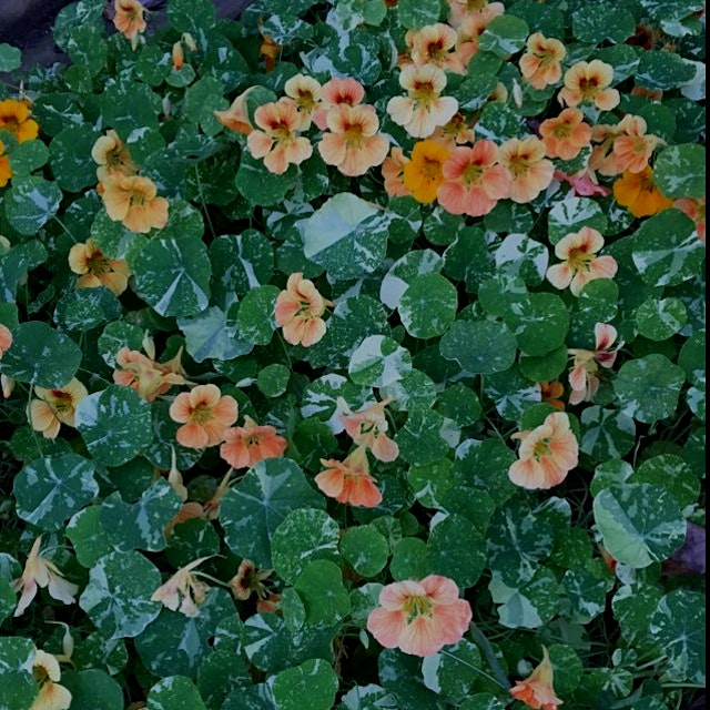 Nasturtiums, leaves and flowers are spicy and healthy (similar to garlic). Ground cover that attr...