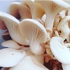 Tickets: http://www.brooklyngrangefarm.com/upcoming/mushroom-cultivationworkshop  In this workshop, we'll go through simple mushroom growing techniques that can be applied in many locations and environments. Learn who and what mushrooms are. Get a better understanding into the amazing world of mushrooms and Fungi. Learn to cultivate them for food and medicine, using free to readily accessible materials. Go home with your own home made Oyster mushroom Kit! It's so easy!