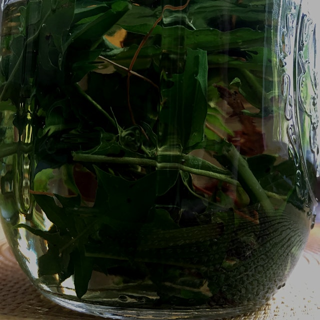 I made dandelion tea for the injured wild rabbit my daughter (@pizzacat) found. I tasted the tea ...