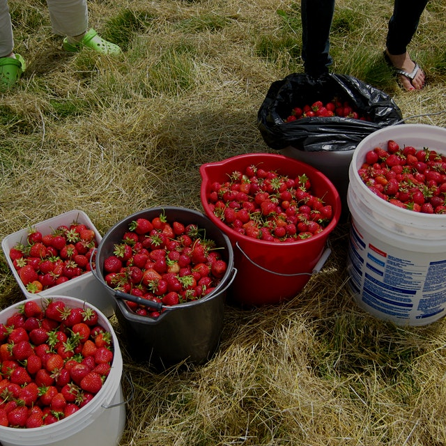 """Don't leave food to waste in the field. Here's a network across various states to """"glean"""" in the ..."""