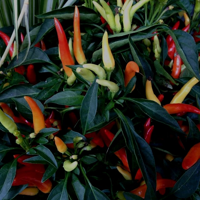 Hot peppers. Supposedly inedible? Oh my, does that qualify to be on Foodstand then? Why can't I e...