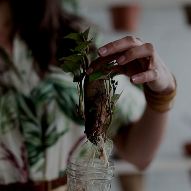 """My sweet potato started growing """"slips"""", so I stuck the potato in a glass of water to get more sl..."""