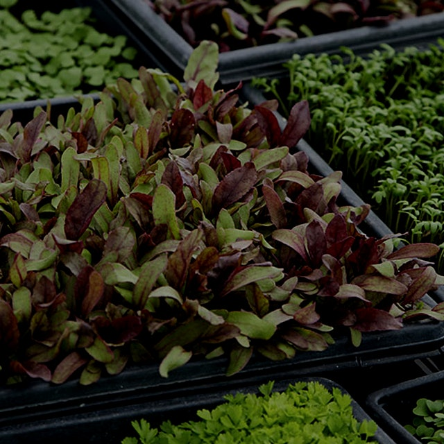 """Go from sowing to selling in less than a month with these tiny, trendy leaves."""