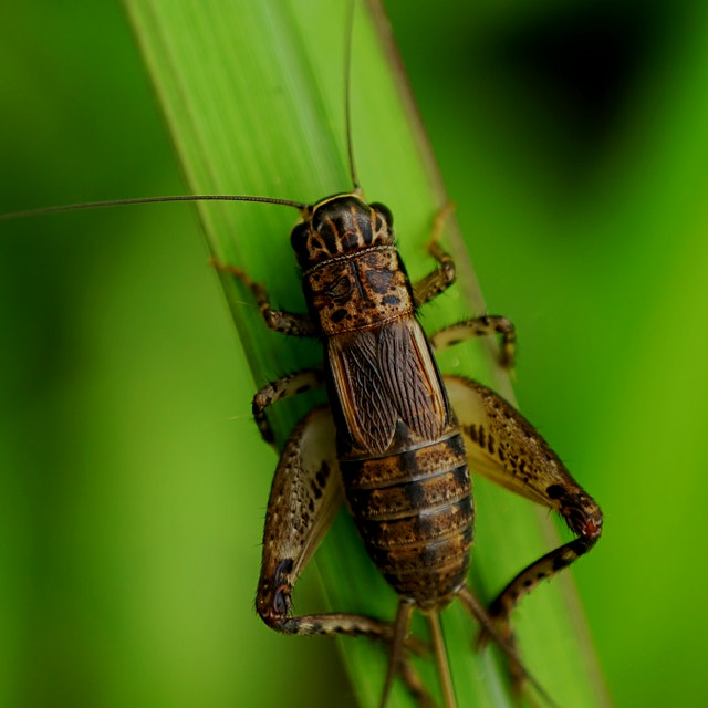 This is an interesting and alternative view from Grist on crickets as a food source. Apparently s...