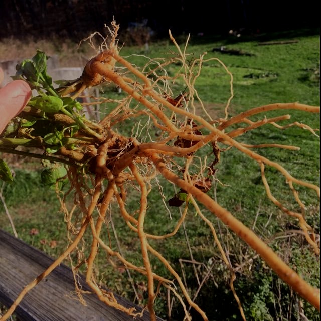 Ashwagandha roots! It won't last the winter in this climate so dug up after first hard frost -- a...