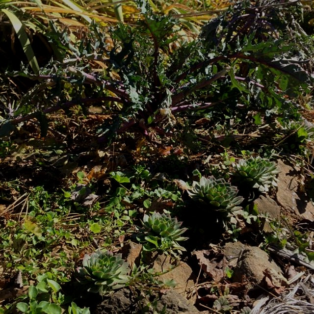 Hen and chicks surrounding some hardy kale and yummy, wild chickweed.