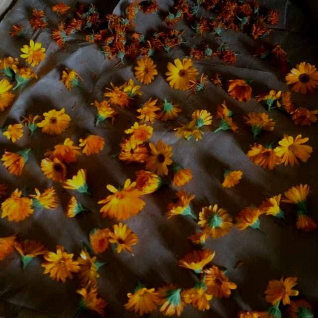 Drying calendula for infusion and winter soaps. Known as the pot marigold used for 100s of years ...