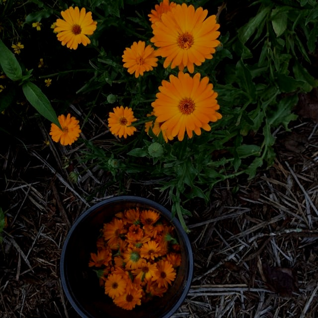 Calendula the ever blooming flower. Yummy in winter soups.