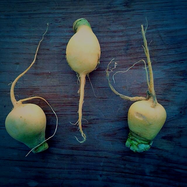 One of my favorite winter root vegetables from Tamarack Hollow Farm: gold ball turnips