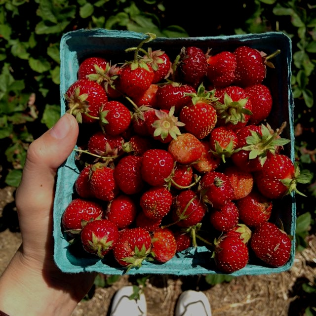 Picked beautiful alpine strawberries and the first of this season's blueberries in CT at Ellswort...