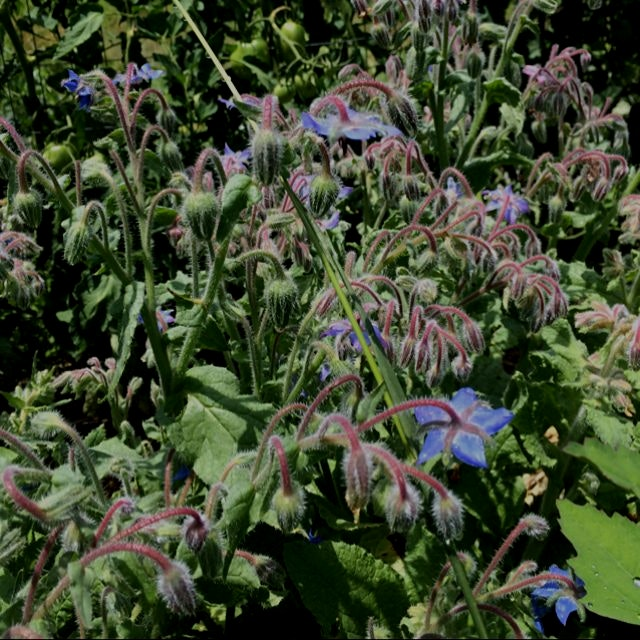 Borage looking lovely and beneficial, the flowers are so yummy.