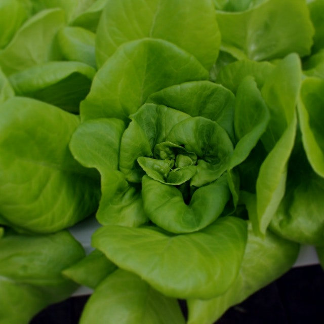 We're excited to be on Foodstand! This beautiful lettuce grows at Gotham Greens NYC greenhouse in...