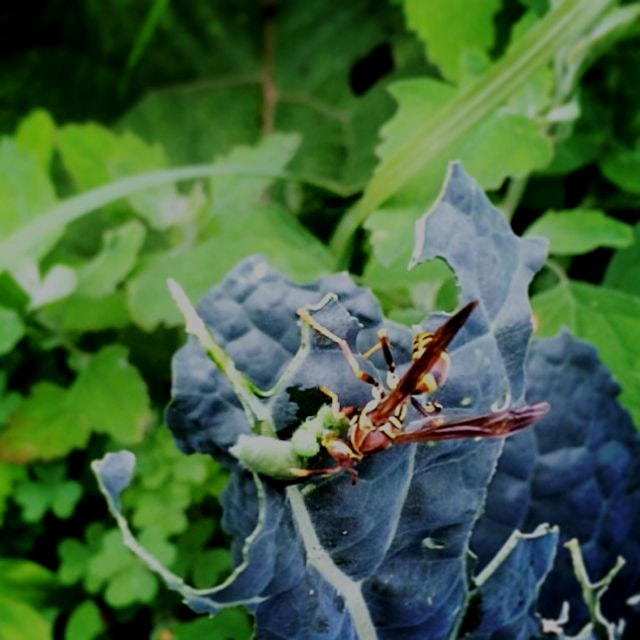 "A wasp eating a worm on kale, ""lunch eating lunch"""