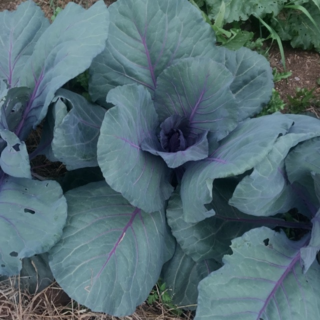 Cabbages are doing great this year, last year the flea beetles ate most. Step 1 for making Sauerk...