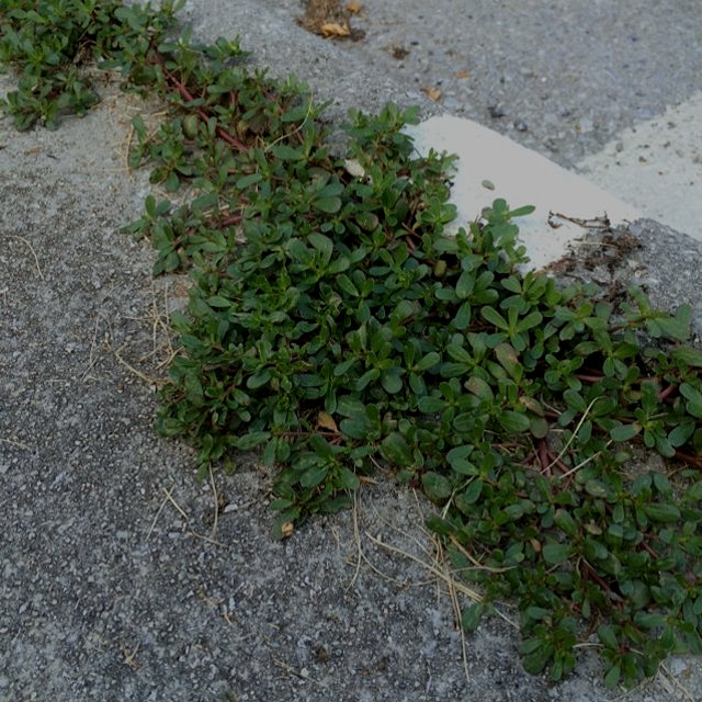 On the way to the farmer's market I saw purslane (high source of omega 3) growing on the road. It...