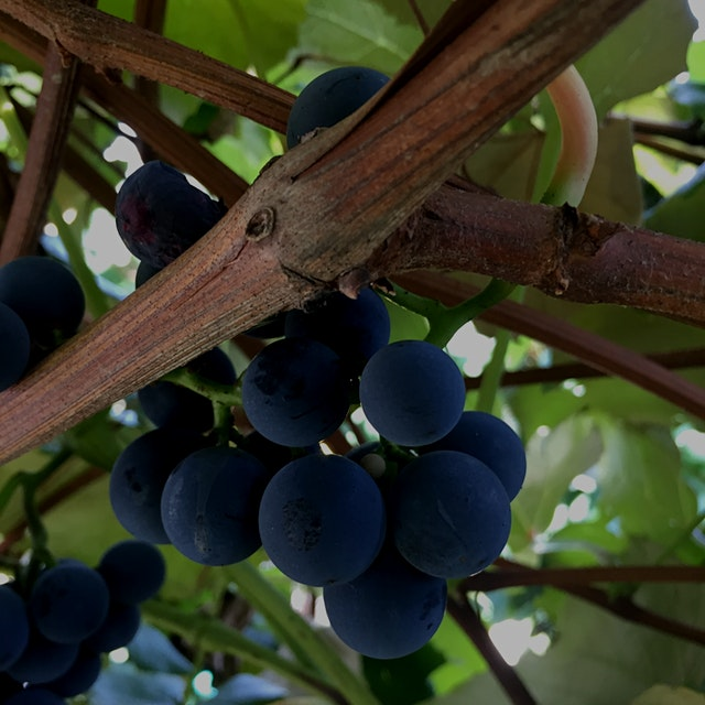 Picked some of these gorgeous and delicious Concord grapes at Dubois Farms in Highland, NY today ...