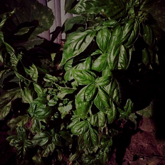 This basil is growing in my backyard in Astoria Queens, NYC